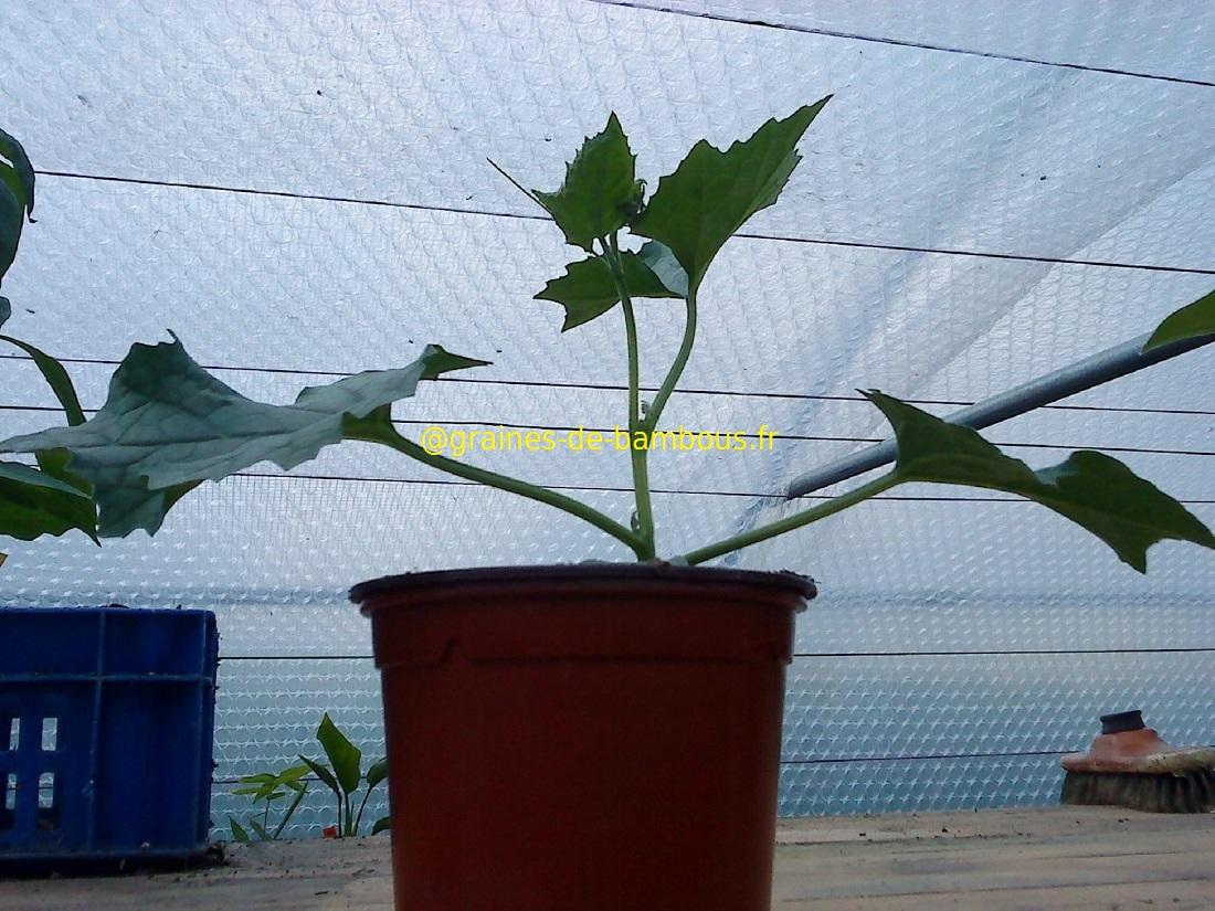 2 plant de luffa