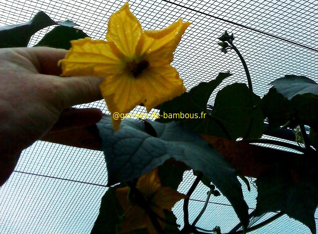 3 fleur de luffa