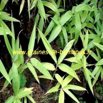 Bambou geant semis www graines de bambous fr