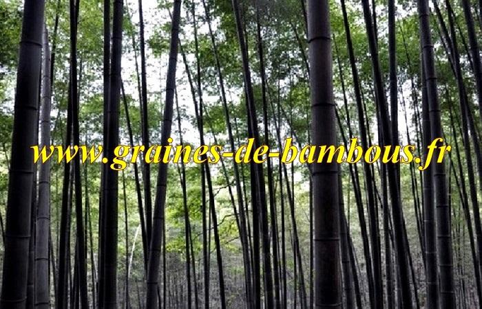 Bambou graines bamboo seeds