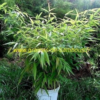 Bambou moso phyllostachys edulis