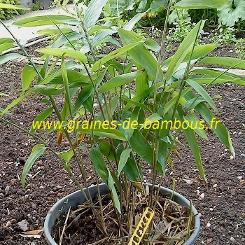 Bambou moso plant