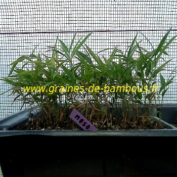 Bambou phyllostachys pubescens moso
