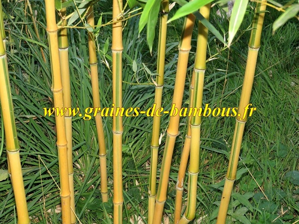 Bambou phyllostachys spectabilis blog