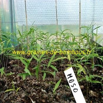 Bambous moso semis