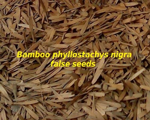 False seeds phyllostachys nigra