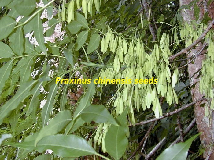 Fraxinus chinensis attribution image forest et kim starr 2