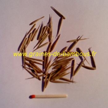 Graines de bambou geant moso
