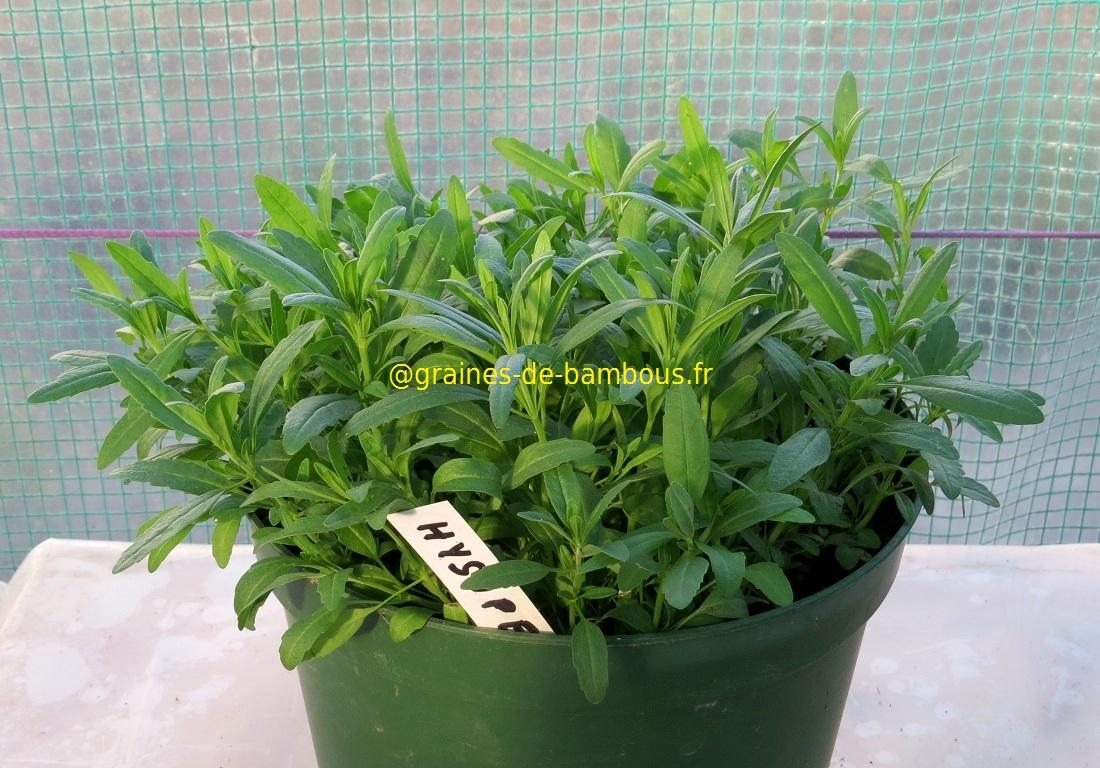 Hysope officinale semis de condimentaires