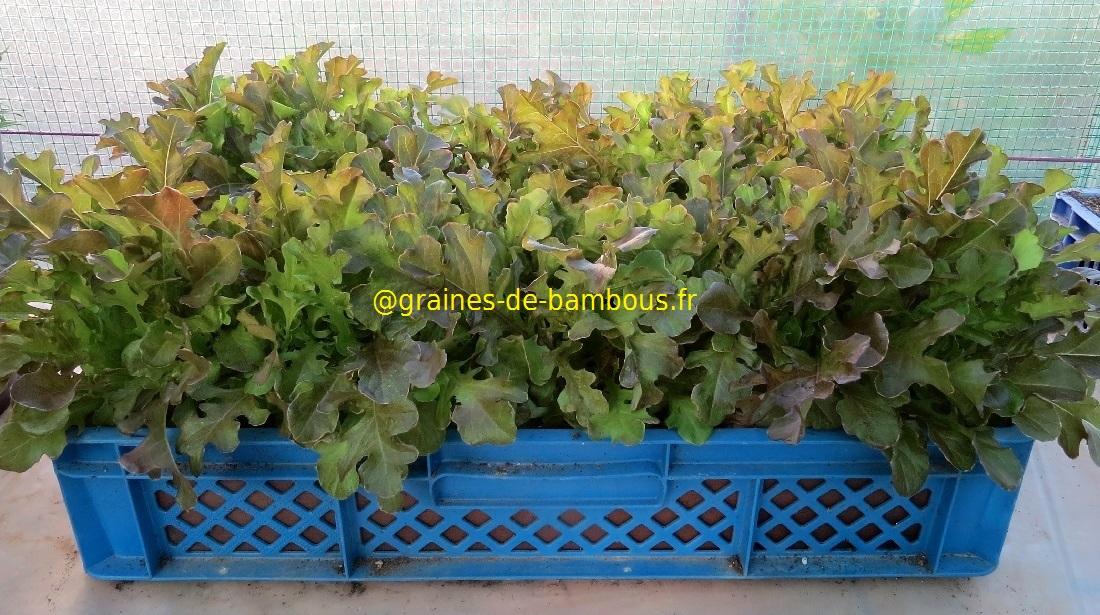 Laitue feuille de chene rouge petits plants