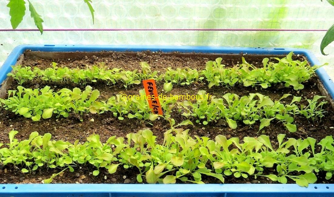 Laitue feuille de chene rouge semis