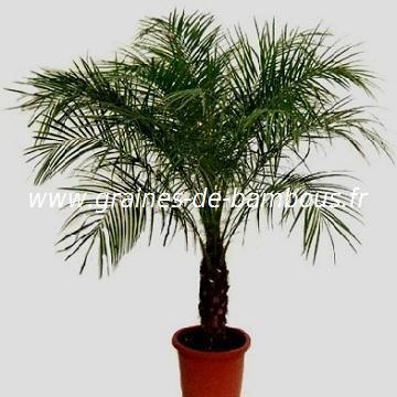 Palmier en pot : comment le choisir et le cultiver - Gerbeaud