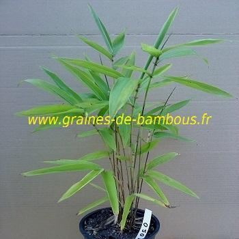 Petit plant bambou moso