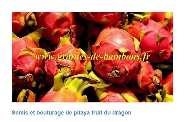 Pitaya fruit du dragon hylocereus undatus