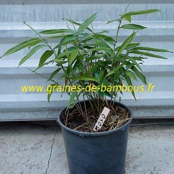 Plant de bambou moso pubescens