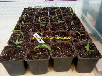 rempotage-bambou-moso-printemps-2013-www-graines-de-bambous-fr.jpg