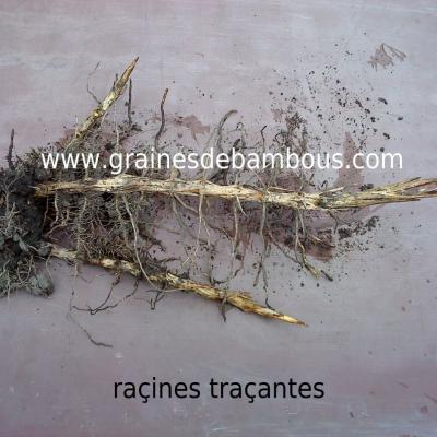 rhizomes-tracants-2.jpg