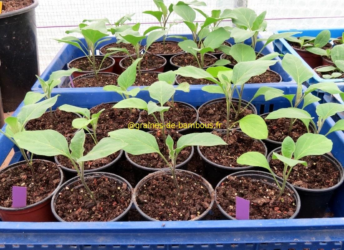 Semis aubergine de barbentane