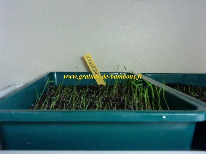 semis-de-couleou-www-graines-de-bambous-fr.jpg