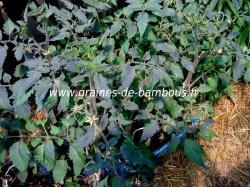 tomate-bleue-feuillage-www-graines-de-bambous-fr.jpg