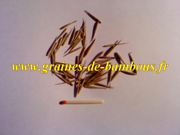 Vraie graines de bambous moso phyllostachys pubescens ou heterocla edulis