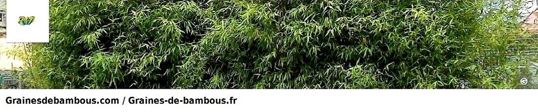 Youtube grainesdebambous com graines de bambous fr