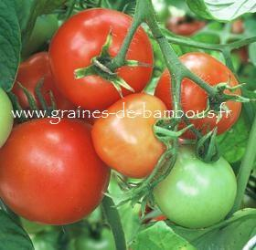Tomate Sub Artic Plenty Réf.796