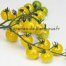Tomate Snowberry Réf.826