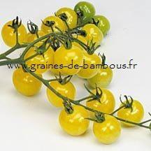 Tomate Snowberry Réf.826