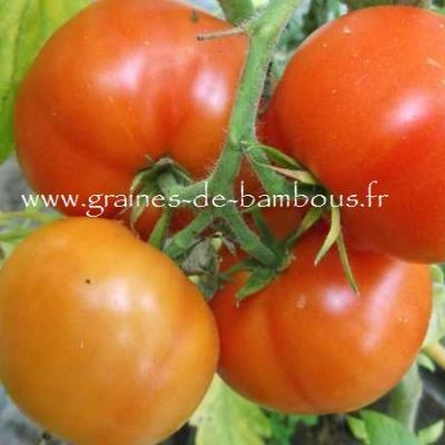 Tomate Thessaloniki Réf.795