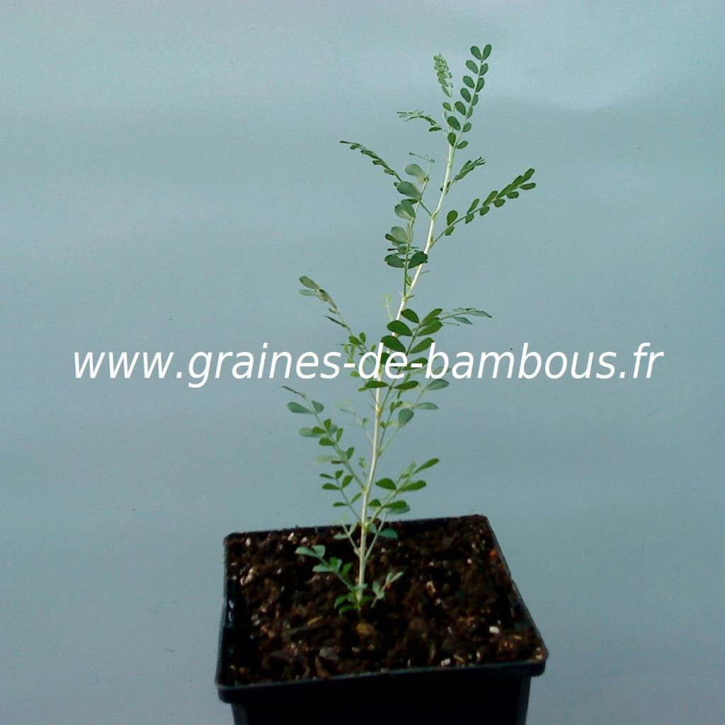 acacia-jaune-caragana-arborescens-petit-plant-www-graines-de-bambous-fr.jpg