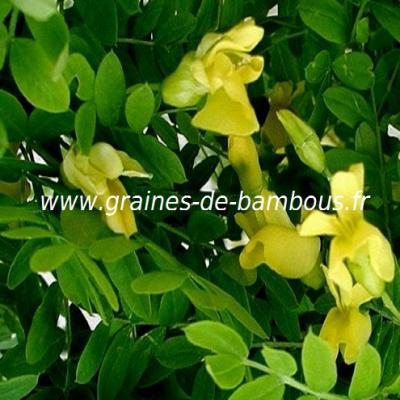 Acacia jaune ou Caraganier de Sibérie réf.296