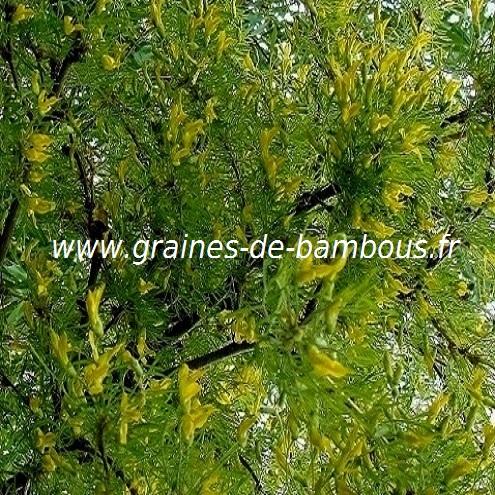 acacia-jaune-caragana-arborescens-www-graines-de-bambous-fr-3.jpg