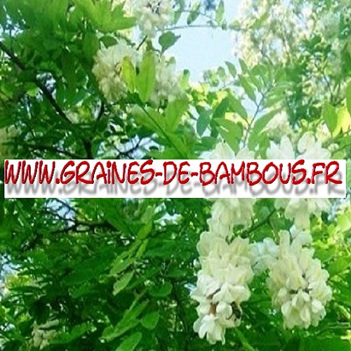 acacia-robinia-pseudoacacia-1000-graines-www-graines-de-bambous-fr-1.jpg