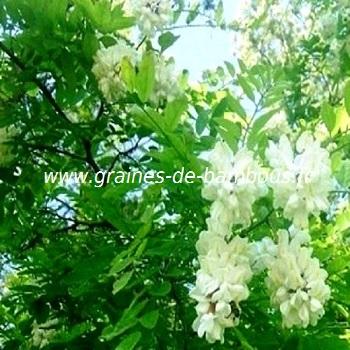 acacia-robinia-pseudoacacia-www-graines-de-bambous-fr.jpg