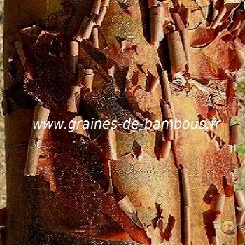 acer-a-ecorce-de-papier-acer-griseum-www-graines-de-bambous-fr-1.jpg