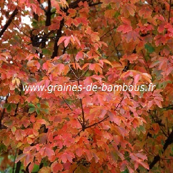 acer-a-ecorce-de-papier-acer-griseum-www-graines-de-bambous-fr-2.jpg