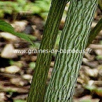 acer-a-peau-de-serpent-acer-davidii-www-graines-de-bambous-fr.jpg