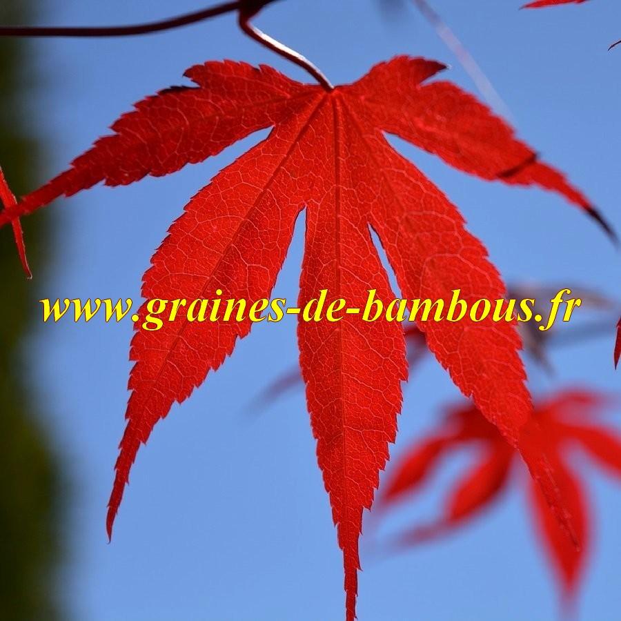 Acer atropurpureum