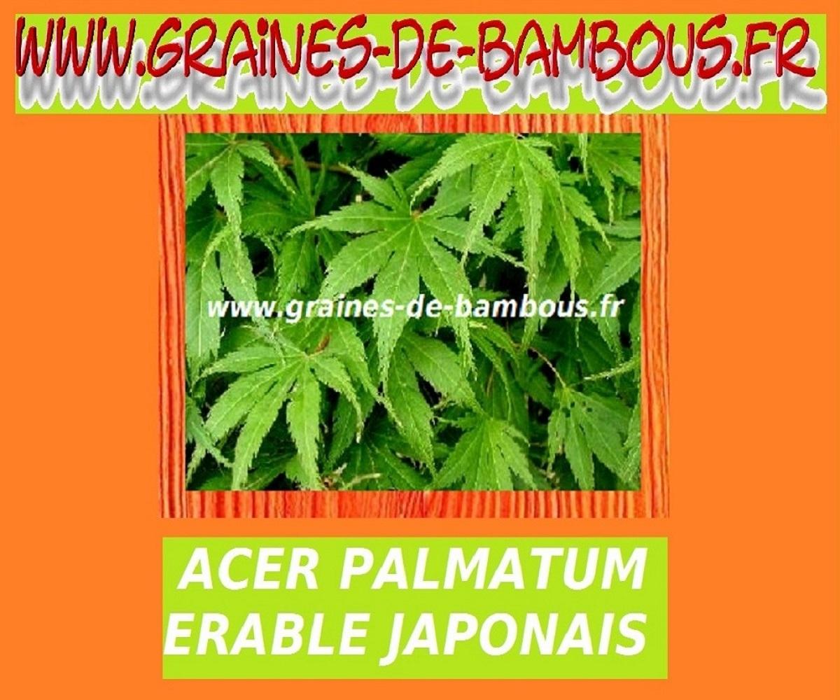 10 graines fraîches d/'Erable palmé Mapl seeds Acer palmatum var dissectum