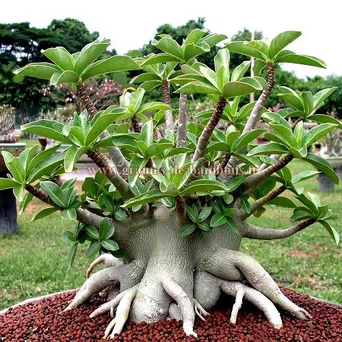 Adenium arabicum black giant