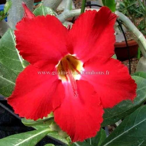 Adenium arabicum fleur rouge