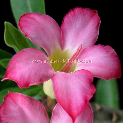 Adenium arabicum fleur