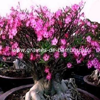 Adenium arabicum www graines de bambous fr
