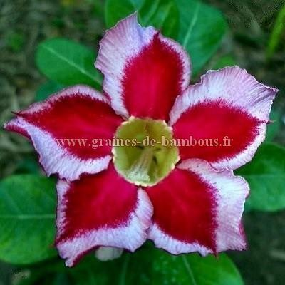 Adenium obesum Beauty cloud 2 réf.754