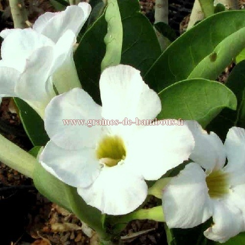 Adenium blanc