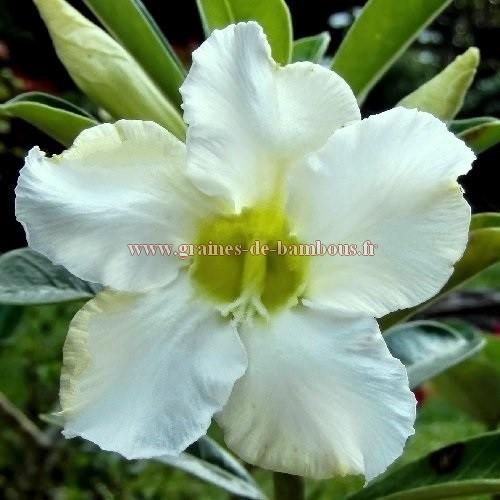 Adenium fleur blanche