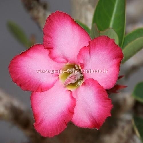 Adenium fleur simple