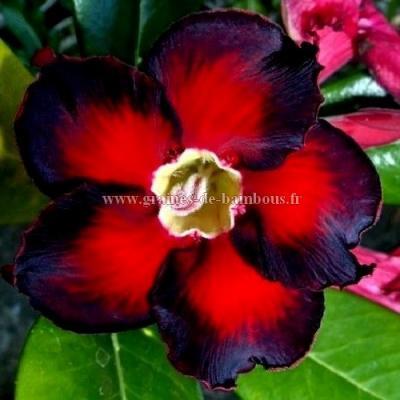 Adenium obesum série à fleurs noires et rouges réf.746