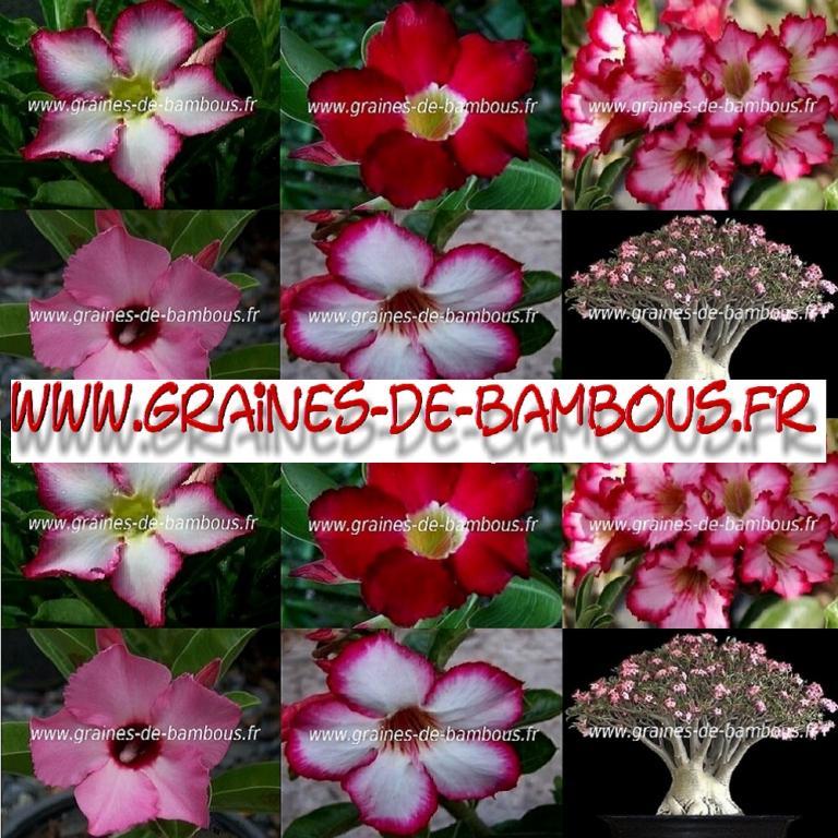 Adénium Rose du Désert 1000 graines